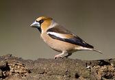 Hawfinch bird — Stock Photo
