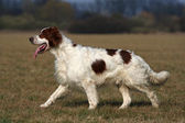 Irish red and white setter — Stock Photo
