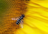 Hoverfly on a sunflower — Stock Photo