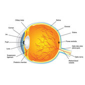 Anatomic Structure of human eye — Stock Vector