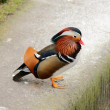 Drake of mandarin duck — Stock Photo #39467093