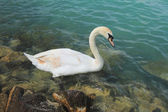 Swan fading — Stock Photo