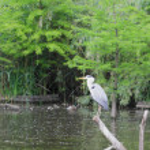 Gray heron (Ardea cinerea) — Stock Photo #46666623