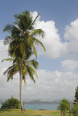 Palm tree ashore. Pointe du Bout, Martinique — Stock Photo