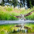 Osprey rising from a lake after catching a fish — Stock Photo #39492781
