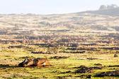 Fallen moai on a field in Easter Island — Stock Photo