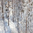 Snowy pine forest in sunshine — Stock Photo