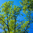 Stock Photo: Tree canopy and blue sky