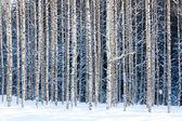 Birches nevoso — Foto Stock