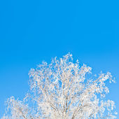 Snowy birch tree against brilliant blue sky on sunny day — Stock Photo