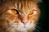 Close-up of a face of an orange tabby cat — Stockfoto