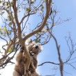 Wild koala in a tree — Stock Photo
