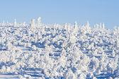 Bétulas pequenas sob a neve no sol — Fotografia Stock