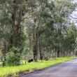 Eucalyptus trees beside a road — Stock Photo #39721205