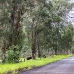 Eucalyptus trees beside a road — Stock Photo