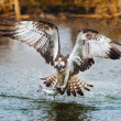 Osprey catching a fish — Stock Photo #39726955