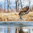Osprey catching a fish — Stock Photo #39726993