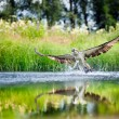 Osprey rising from a lake after catching a fish — Stock Photo #39727411