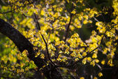 Golden oak leaves in autumn — Stock Photo