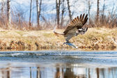 Osprey catching a fish — Stock Photo