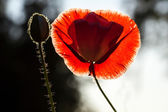 Red poppy and a bud against black and white background — Stock Photo