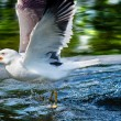 Herring gull catching a fish — Stock Photo
