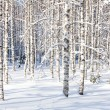Snowy birch trunks — Stock Photo