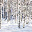 Snowy birch trunks — Stock Photo #39731711