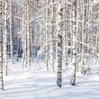 Snowy birch trunks — Stock Photo