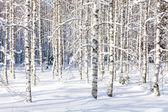 Snowy birch trunks — Stok fotoğraf