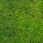 Abstract green hedge background — Stock Photo
