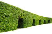 Curved wall of green hedge isolated on white — Stock Photo