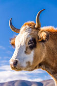 Corsican Cow at Col de San Colombano — Stock Photo
