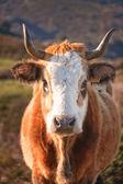 Corsican Cow at Col de San Colombano — Stock Photo