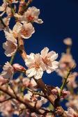First blossom of spring — Stock Photo
