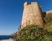 A flowering Aloe in front of the Citadel wall at Calvi in Corsic — Stock Photo
