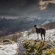 Border Collie dog looking out over snow covered mountains — Stock Photo #42119847