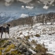 Border Collie dog looking out over snow covered mountains — Stock Photo #42182653