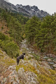 Border Collie dog overlooking the Tartagine valley in Corsica — Foto Stock