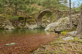 Border Collie dog paddles in Tartagine river by Genoese bridge — Stock Photo
