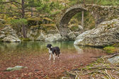 Border Collie dog paddles in Tartagine river by Genoese bridge — Foto Stock