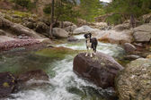 Border Collie Dog standing on boulder in mountain stream — Stock Photo
