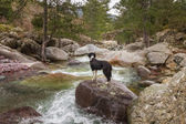 Border Collie Dog looks at Genoese bridge from stream — Stock Photo