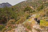 Border Collie dog in the Tartagine valley in northern Corsica — Stock Photo