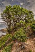 Twisted old pine tree on coastline Corsica — Stock Photo