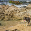 Border Collie dog amongst the rocks on beach — Stock Photo