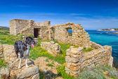 Un border collie sorge su un antico edificio sulla costa della corsic — Foto Stock