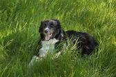 Border Collie dog in long Grass — Stok fotoğraf