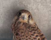 Falcon bird photo texture — Stock Photo