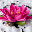 Pink water lily with white petals — Stock Photo #48932073
